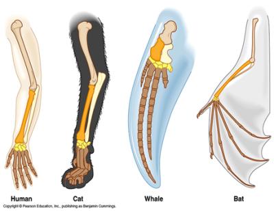 Homologi ekstremitas anterior beberapa binatang vertebrata