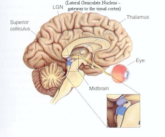 otak-tengah